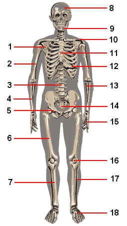 Skeletal System Worksheets Worksheets for all | Download and Share ...